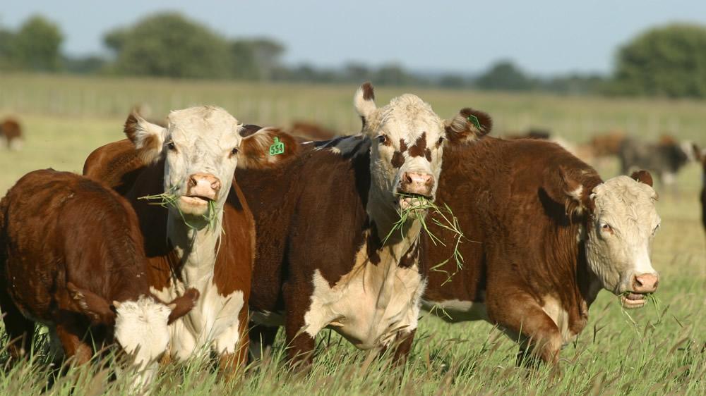 bovinos-braford