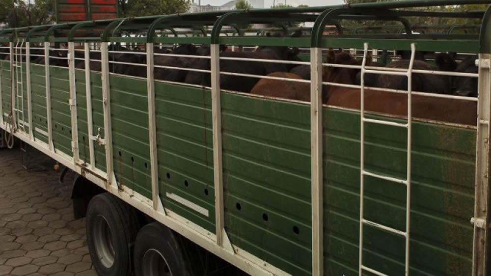 Camión transportando vacas