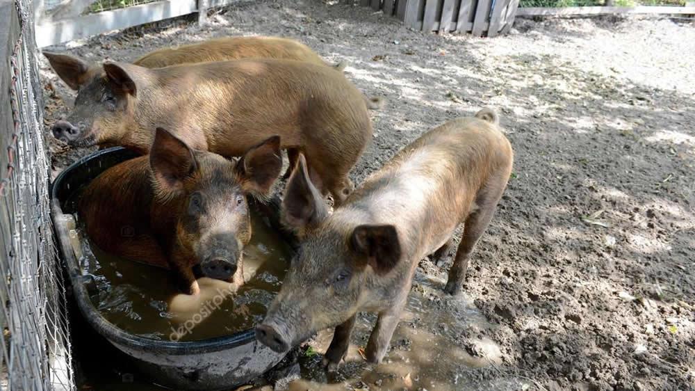 Cerdos en corral