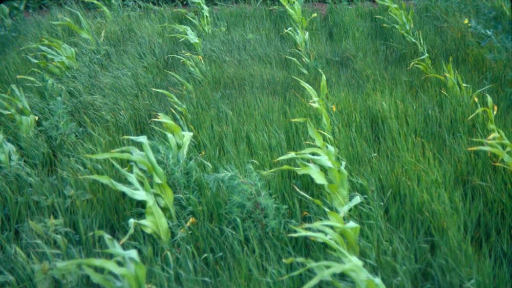 Invasión de malezas en cultivos de maíz