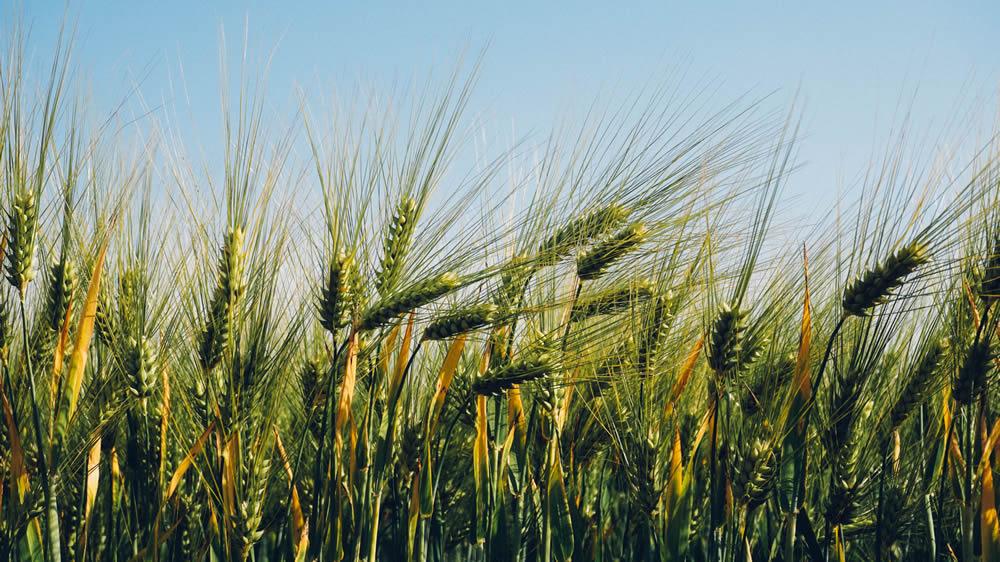 foto de trigo sembrado