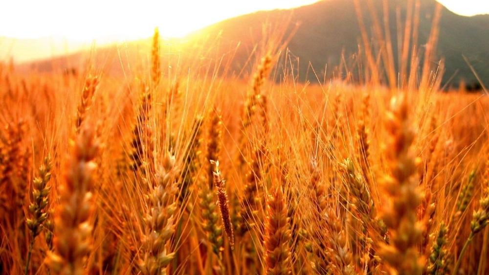 foto de campo de trigo