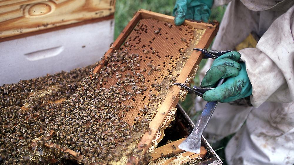 Apicultor trabajando con las colmenas