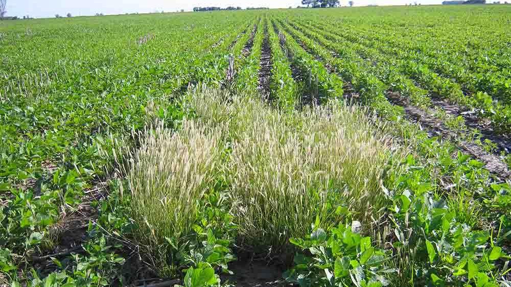 Malezas en cultivos