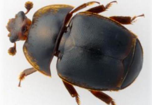 Escarabajo de las colmenas