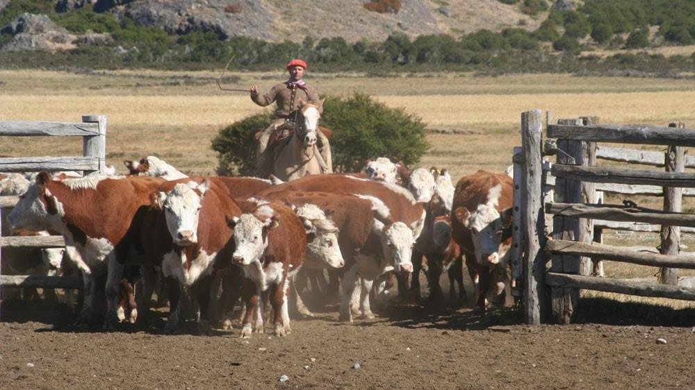 Gaucho llevando el ganado
