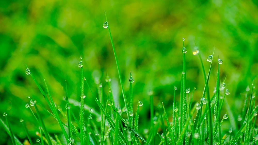 Gotas de lluvia en gramilla
