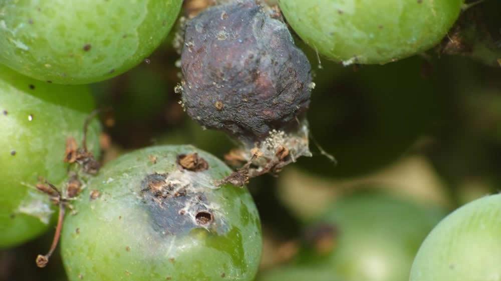 Plaga Lobesia botrana en la uva