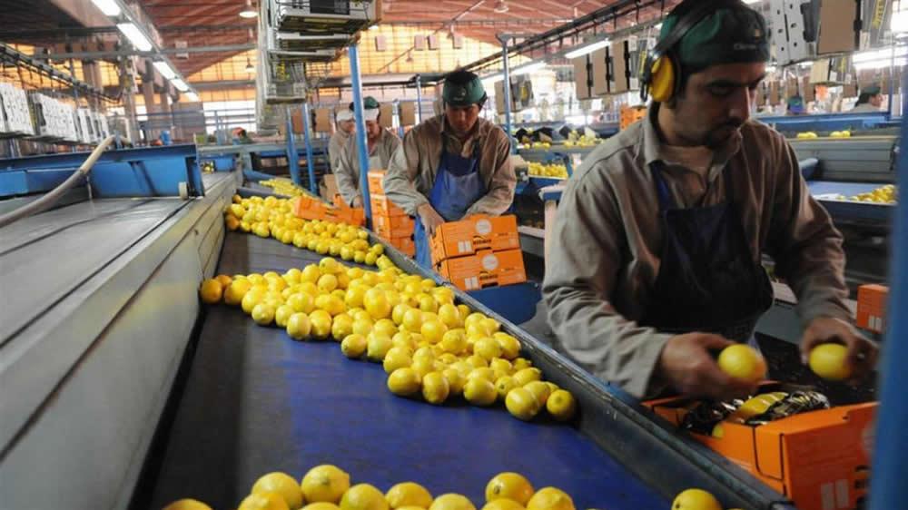 Trabajadores seleccionando limones para exportación