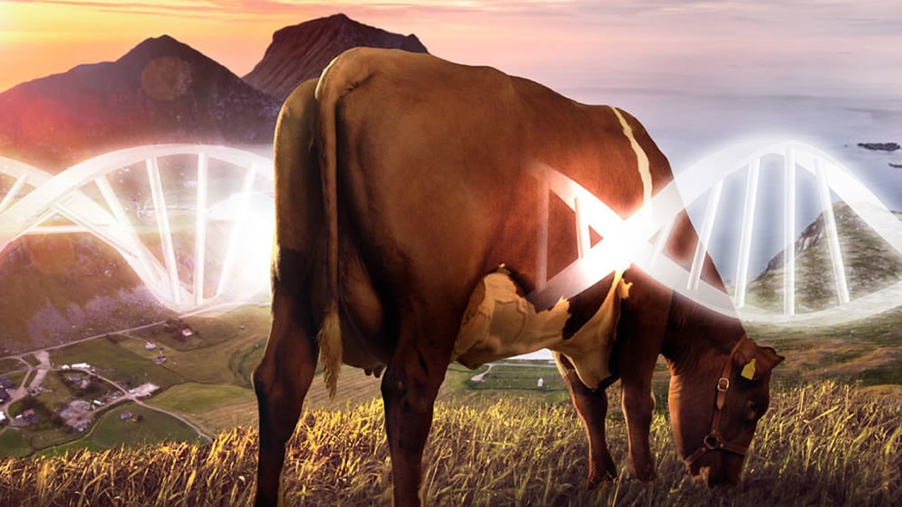 Vaca con cadena de ADN