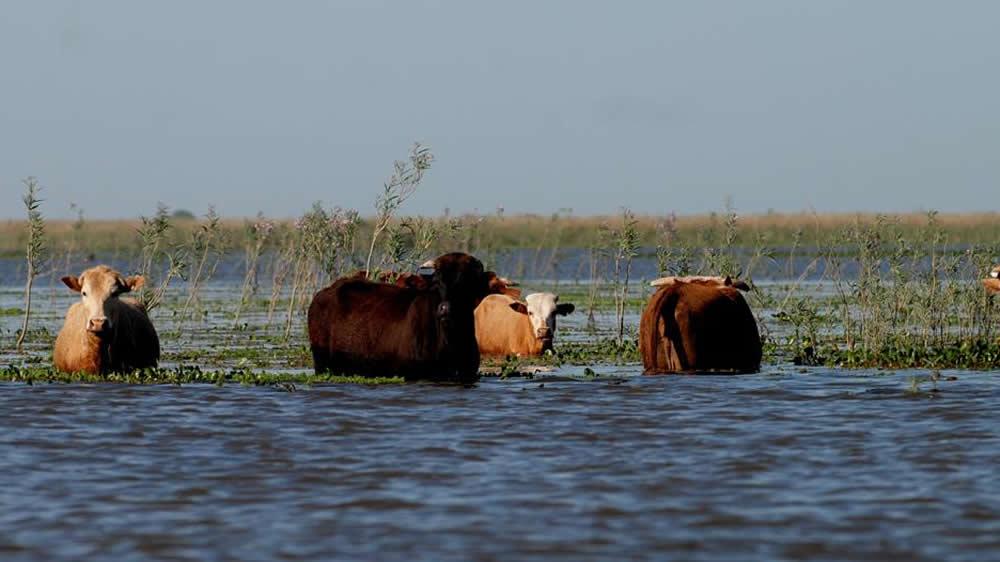 Vacas inundadas en la provincia de Corrientes