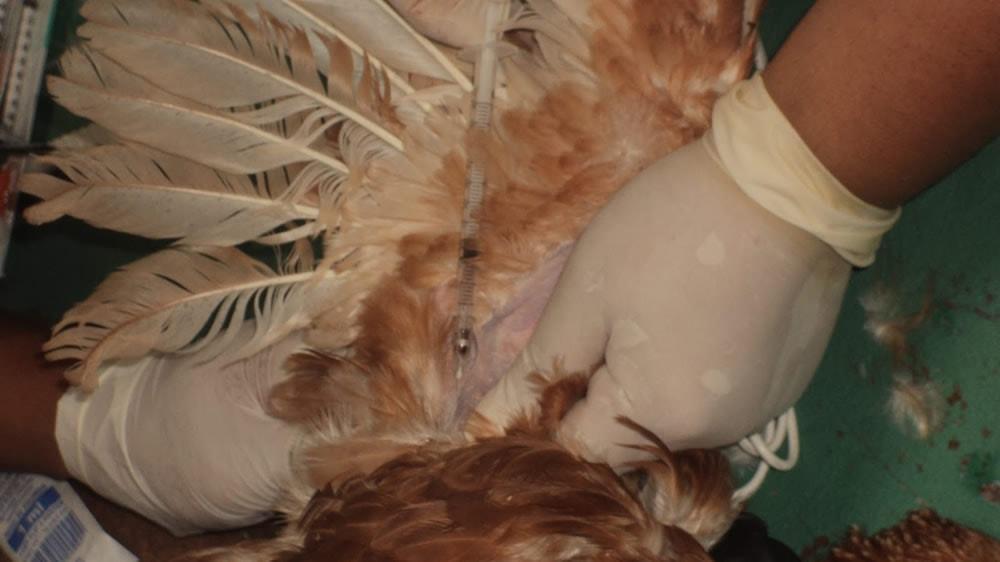Vacunando gallina contra la gripe aviar