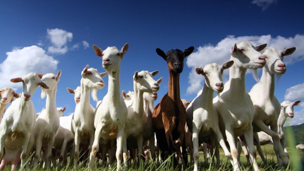 Cabras en el campo