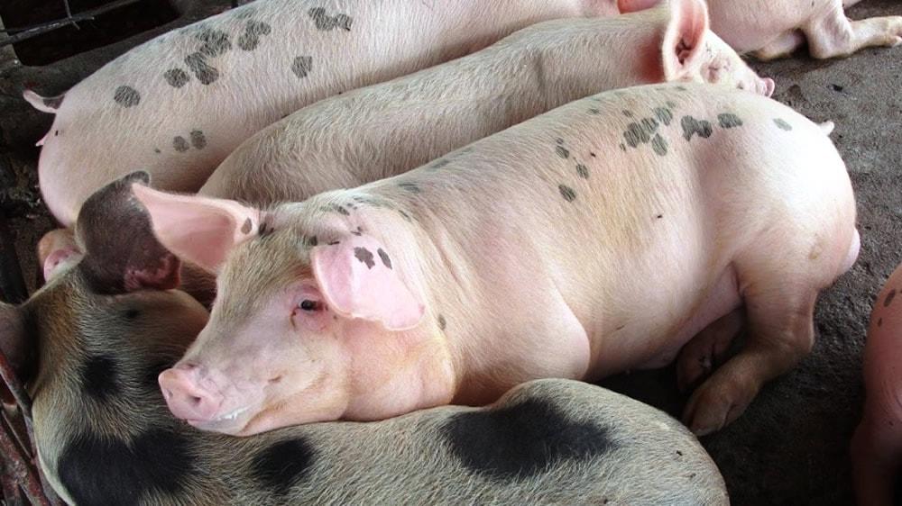 Cerdos acostados en el corral