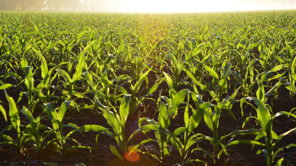 Plantas jóvenes de maíz