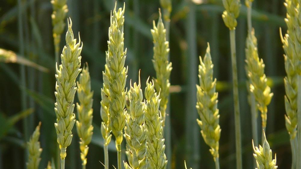 Espigas de trigo en el campo