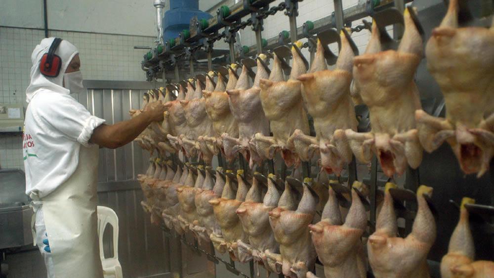Frigorífico de pollos, faena de pollos