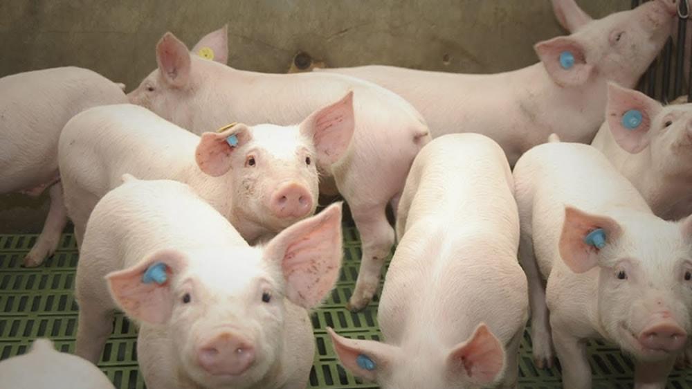 Cerdos, lechones, granja intensiva