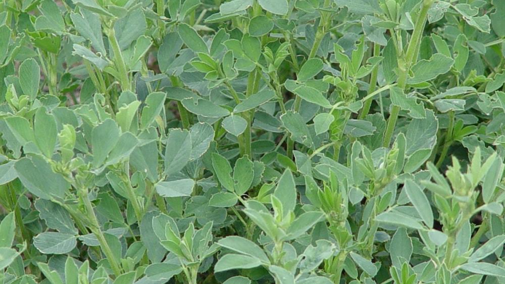 Plantas de alfalfa