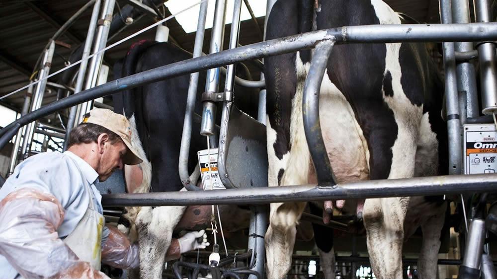 Tambero extrayendo los primeros chorros de leche de una vaca