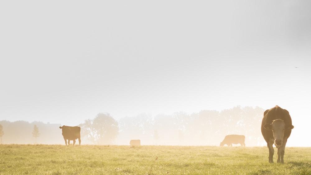 Vacas en el campo, ganadería