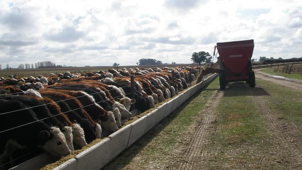 Alimentando al ganado en feedlot