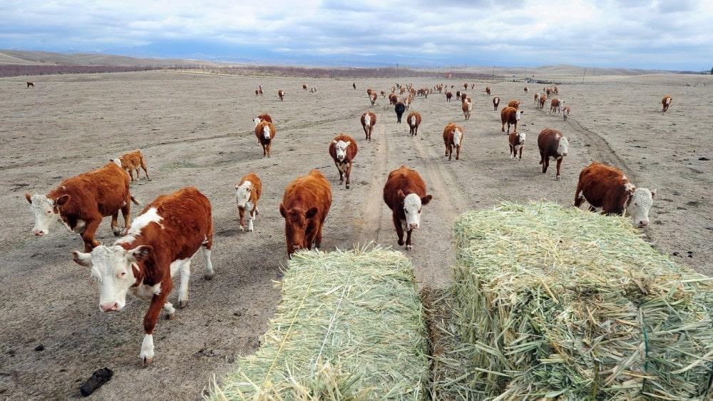 bovinos sin comida en sequia