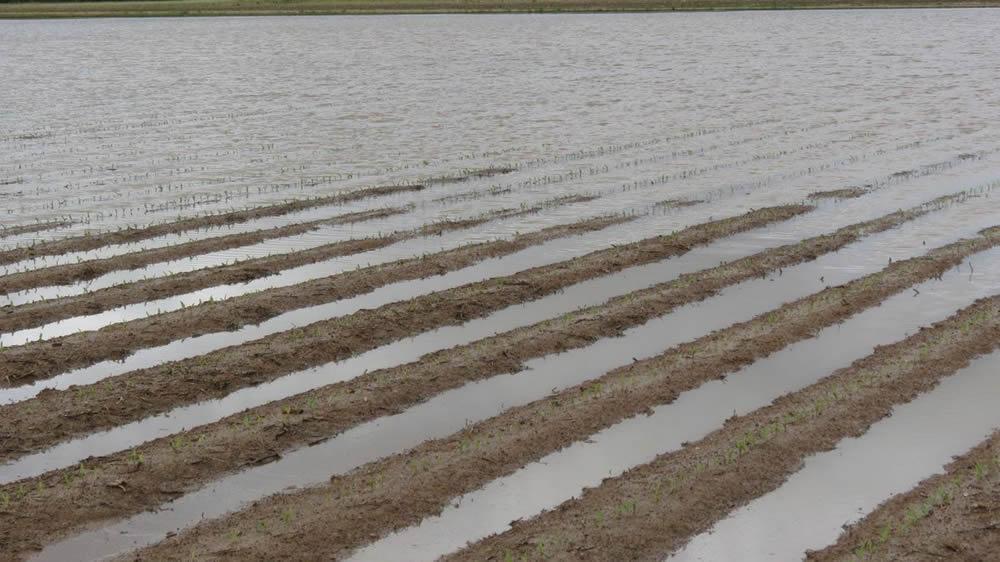 Cultivo de maíz inundado por las lluvias