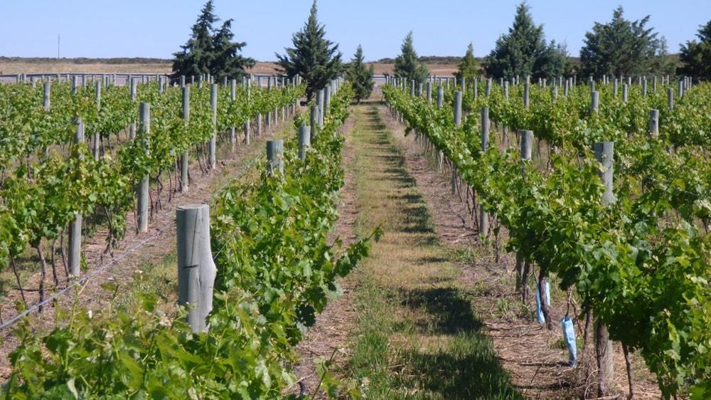 Importante crecimiento de un nuevo polo vitivinícola en Casa de piedra, La Pampa