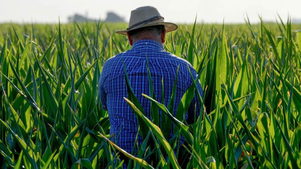 Hombre caminando entre los cultivos