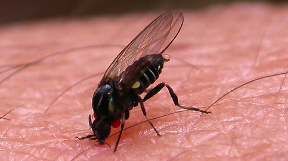 Mosca bariguí o mosca negra