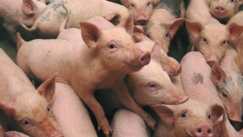 Producción de cerdos en granja