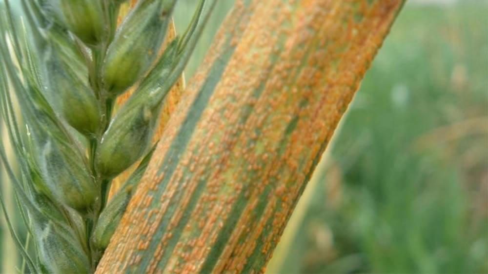 Roya amarilla en el trigo