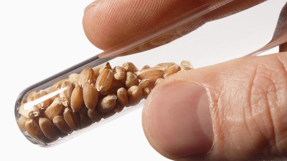 Semillas de trigo modificadas genéticamente