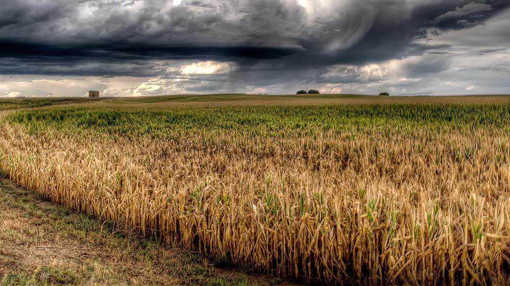 Tormenta en el campo con cultivo de maíz