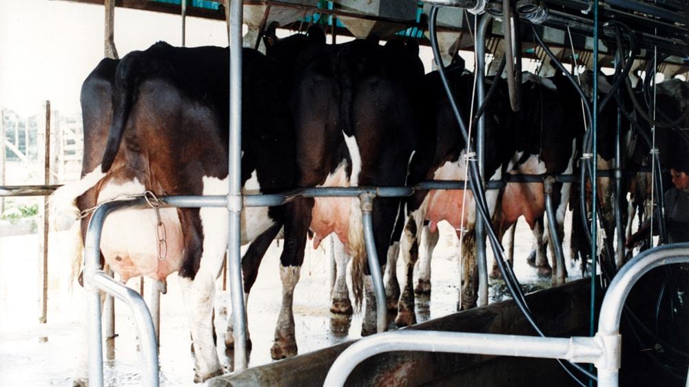 Vacas en el tambo