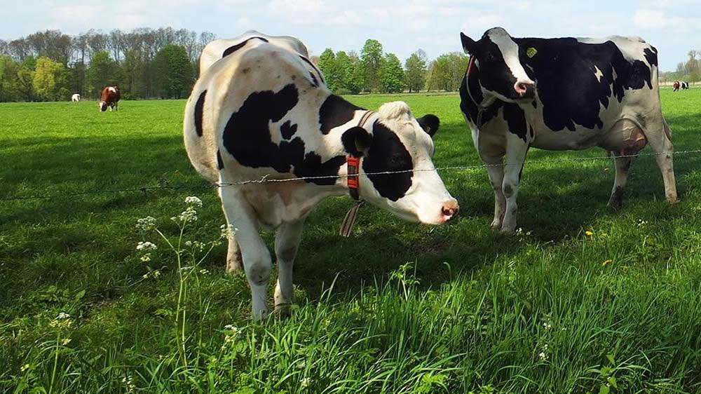 Vacas Holando