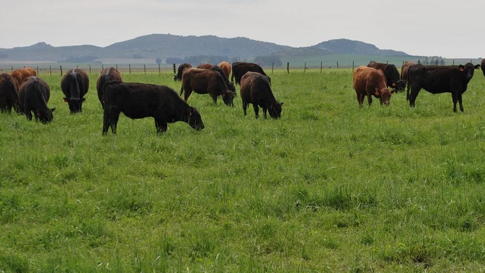 Vacas comiendo pasturas