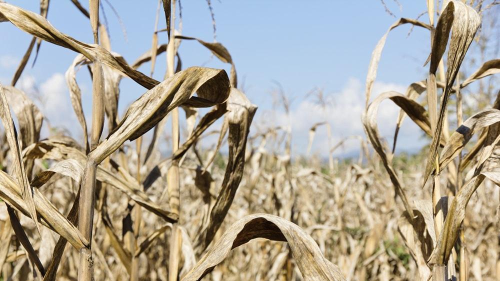 Maíz afectado por la sequía