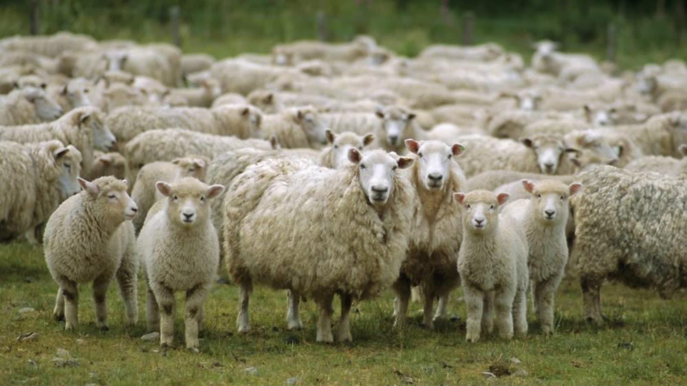 Producción ovina en Buenos Aires