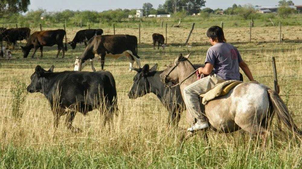 Trabajador rural llevando al ganado