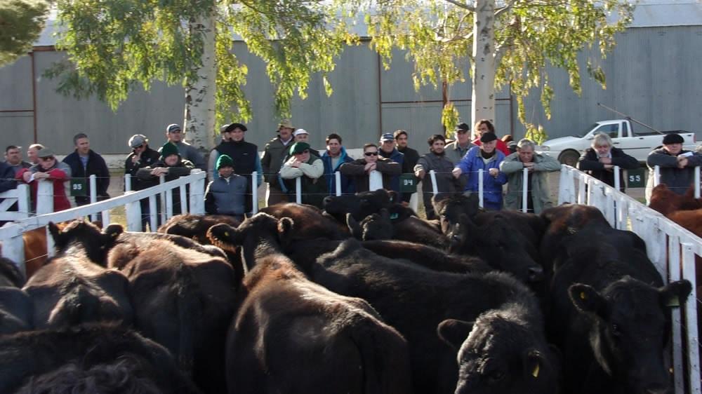 Remate feria de bovinos