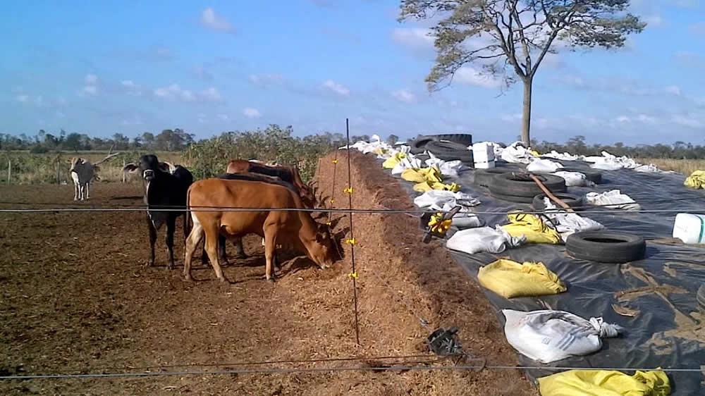 Vacas comiendo en silaje de maíz