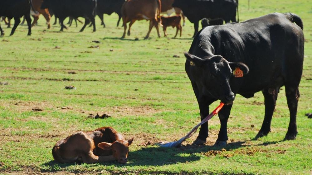 Vaca con su ternero