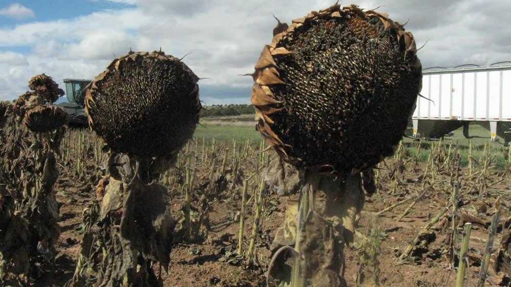 Girasoles listos para ser cosechados