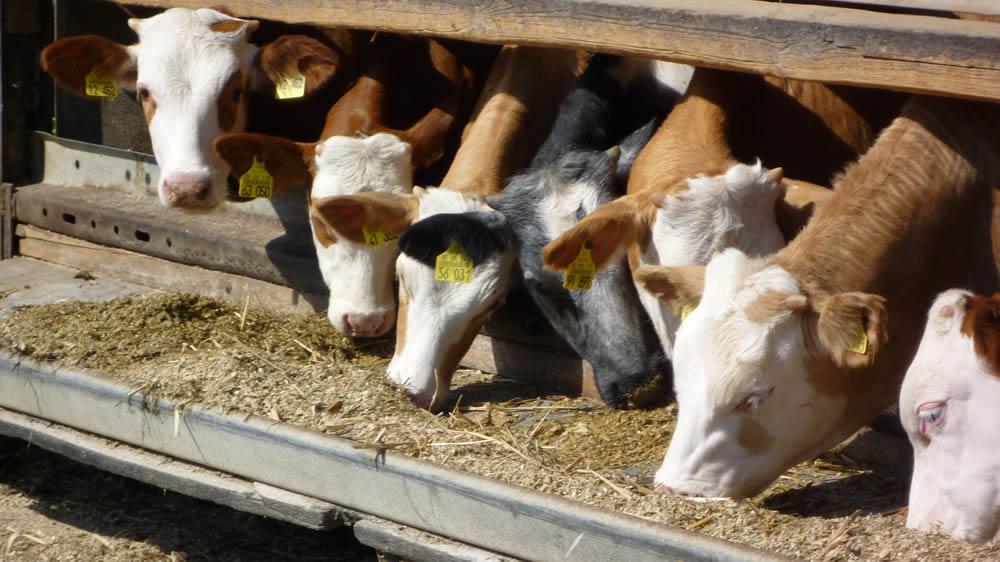 Feedlot de ganado Hereford