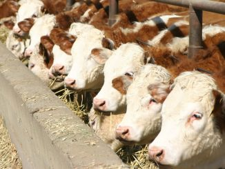 Feedlot de ganado Hereford