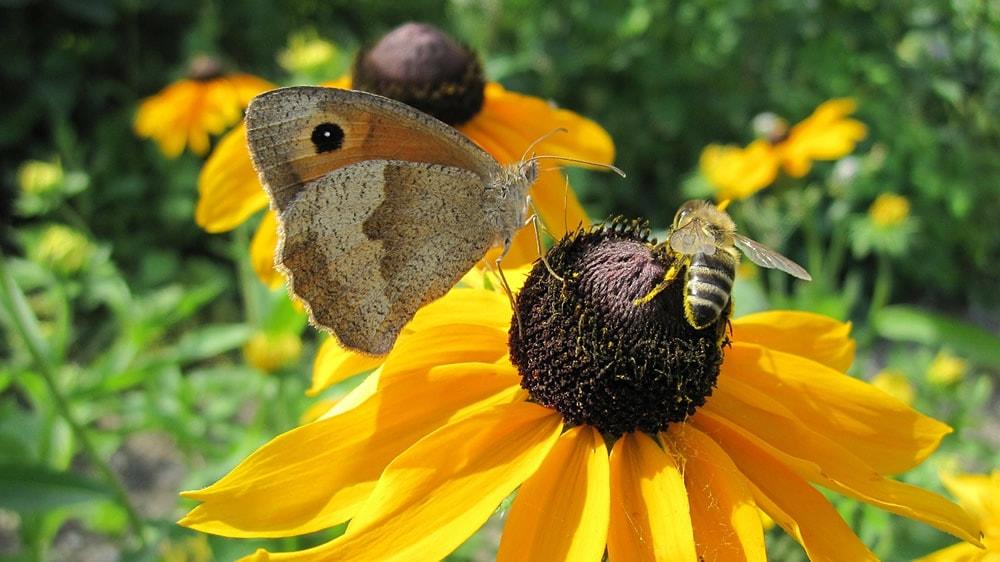 Biodiversidad, mariposa y abeja polinizando un girasol