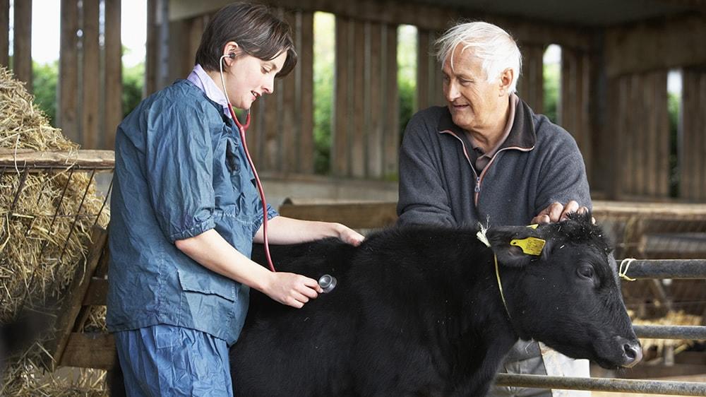 Veterinaria revisando una vaca