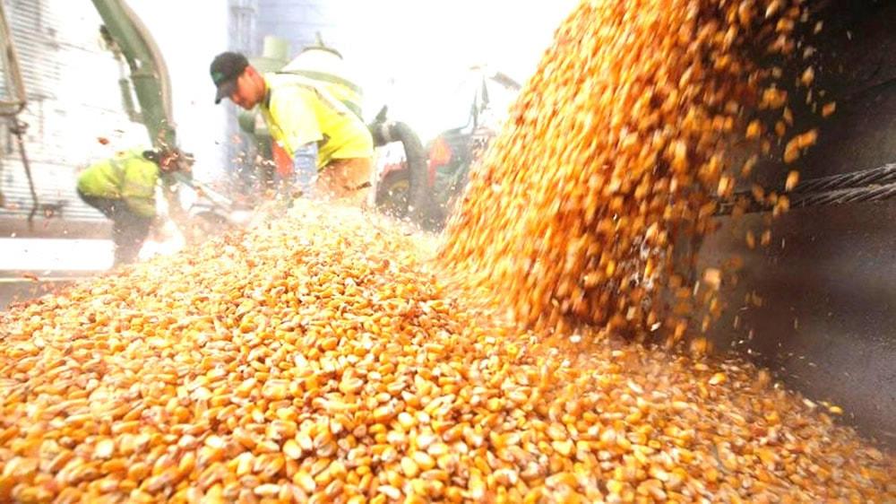 Operadores de granos de maíz
